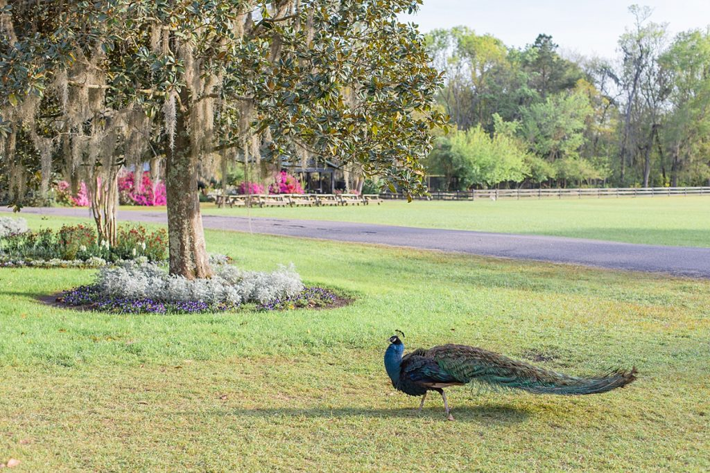 Peacock on the grounds of Magnolia Plantation, a must add to this Charleston travel guide